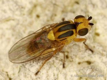 [عکس: musca-galbena-a-cerealelor-chlorops-pumi...10_2_2.jpg]